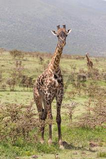 Giraffe in Amboseli national park, Kenya.