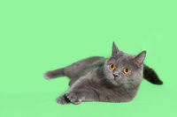 Beautiful smoky gray British cat on green background