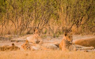 Löwin in der Savanne vom in Simbabwe, Südafrika