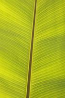 Bananenblatt in der Sonne