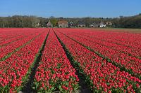 Feld mit pinkfarbenen Tulpen zur Produktion von Blumenzwiebeln, Bollenstreek, Niederlande