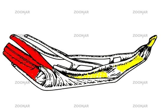 Foto Anatomie Finger Bild #2482883