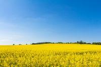 Gelbe Blüten im Rapsfeld im Frühling mit blauem Himmel