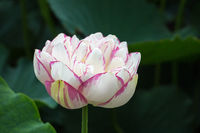 buddha lotus closeup