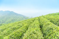 tea plantation in spring