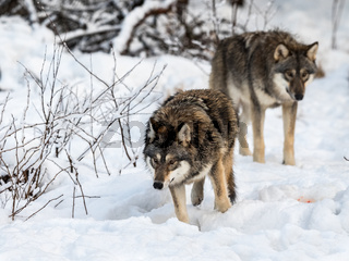 Two gray wolfs, Canis lupus, walking to the right, while sniffing on the ground. Snowy winter forest.