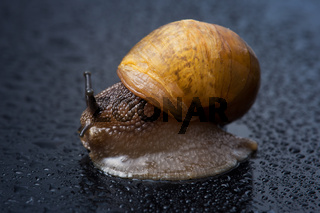 Image of a snail with water droplets (selective focus)