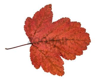 dried leaf of viburnum tree isolated on white