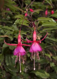 Fuchsien fuchsia