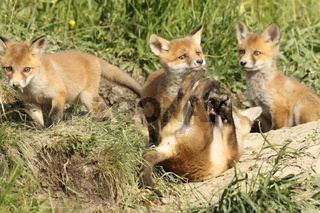 playful red fox cubs in the wild ( young Vulpes near the burrow )