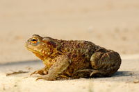 profile view of brown common toad ( Bufo