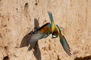 Bienenfresser fliegend vor der Bruthöhle