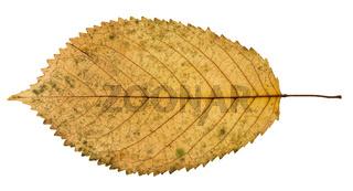 back side of fallen yellow leaf of prunus tree