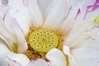 buddha lotus flower closeup