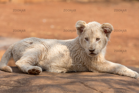 White lion cub South Africa