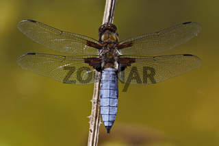 Plattbauch - Maennchen, Libellula depressa, broad-bodied chaser - male