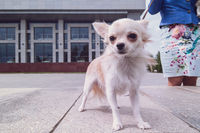 chihuahua walking in the city