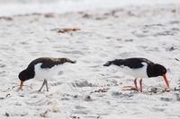 Nahaufnahme von zwei Austernfischern am Strand der Düne von Helgoland