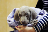 a weimaraner puppy with blue eyes. dermatological problems of allergic nature. epidermal cutaneous suppuration due to pyoderma of purulent inflammation as a secondary lesion. Staphylococcus intermedius.
