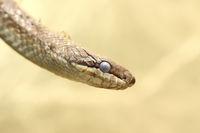 portrait of a smooth snake  ( Coronella austriaca )