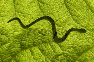 Schlange auf einem Blatt