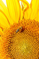 Honey bee on sunflower.