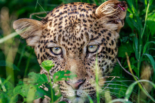 Leopard starring at the camera.
