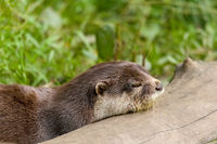 animal European otter (Lutra lutra)