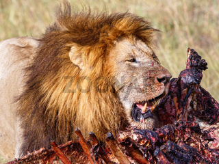 Male Lion at his kill on the savanna