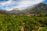 Orange orchard near Soller