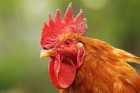 portrait of colorful rooster at the farm