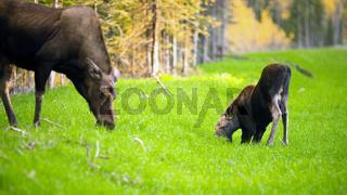 Female Moose Cow Calf Feeding On Grass Alaska Wilderness