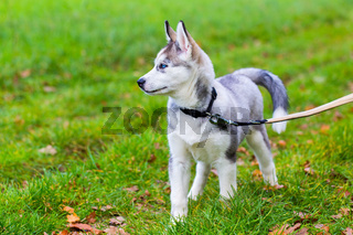 Leashed Husky dog  stands in grass