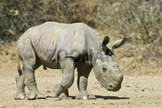 Breitmaulnashorn, Weisses Nashorn (Ceratotherium simum) Jungtier, Okapuka Ranch, Namibia, Afrika, young White Rhinoceros or Square-lipped rhinoceros, Rhino, Africa
