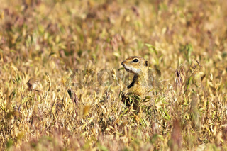 cute european ground squirrel in the field ( Spermophilus citellus )