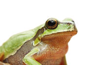 cute isolated portrait of green tree frog ( Hyla arborea )