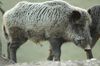 large wild boar at dawn ( Sus scrofa
