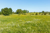 Meadow with flowerings cow parsley and buttercups flowers in summer