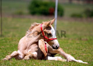 Foal retsing in the meadow