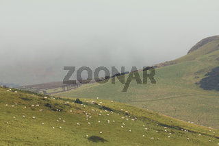 A lot sheep on the mountain field in scottish highland