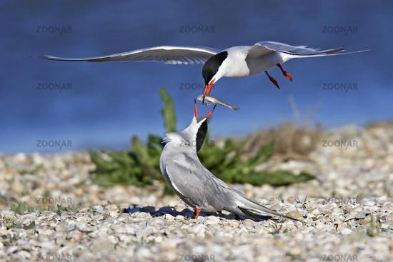 Fluss-Seeschwalbe, Sterna hirundo, common tern