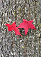 Zwei rotgefärbte Herbstblätter des Amberbaums (Liquidamber styraciflua)
