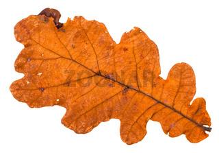 back side of autumn holey orange leaf of oak tree