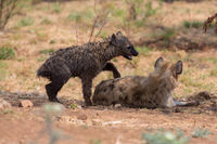 hyena cub and his mother Kruger national Park South Africa