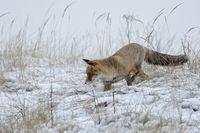 auf Mäusejagd... Rotfuchs * Vulpes vulpes * im Schnee
