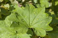 Frauenmantel - eine beliebte Heilpflanze