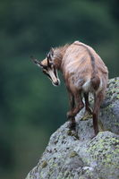 Chamois (Rupicapra rupicapra) Vosges Mountains, France Gämsen Vogesen