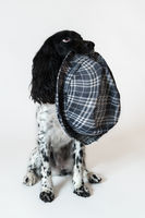 Beautiful female spaniel has a hat in his mouth on white background