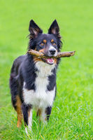 Standing border collie in grass with stick
