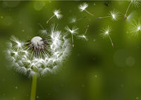 Dandelion Seeds in the Sunlight